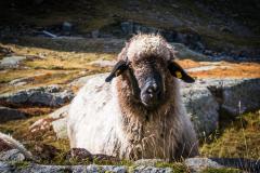 Allgegenwärtig sind die vielen Schafe