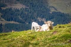 Weiße Kühe an der Winkler Alm